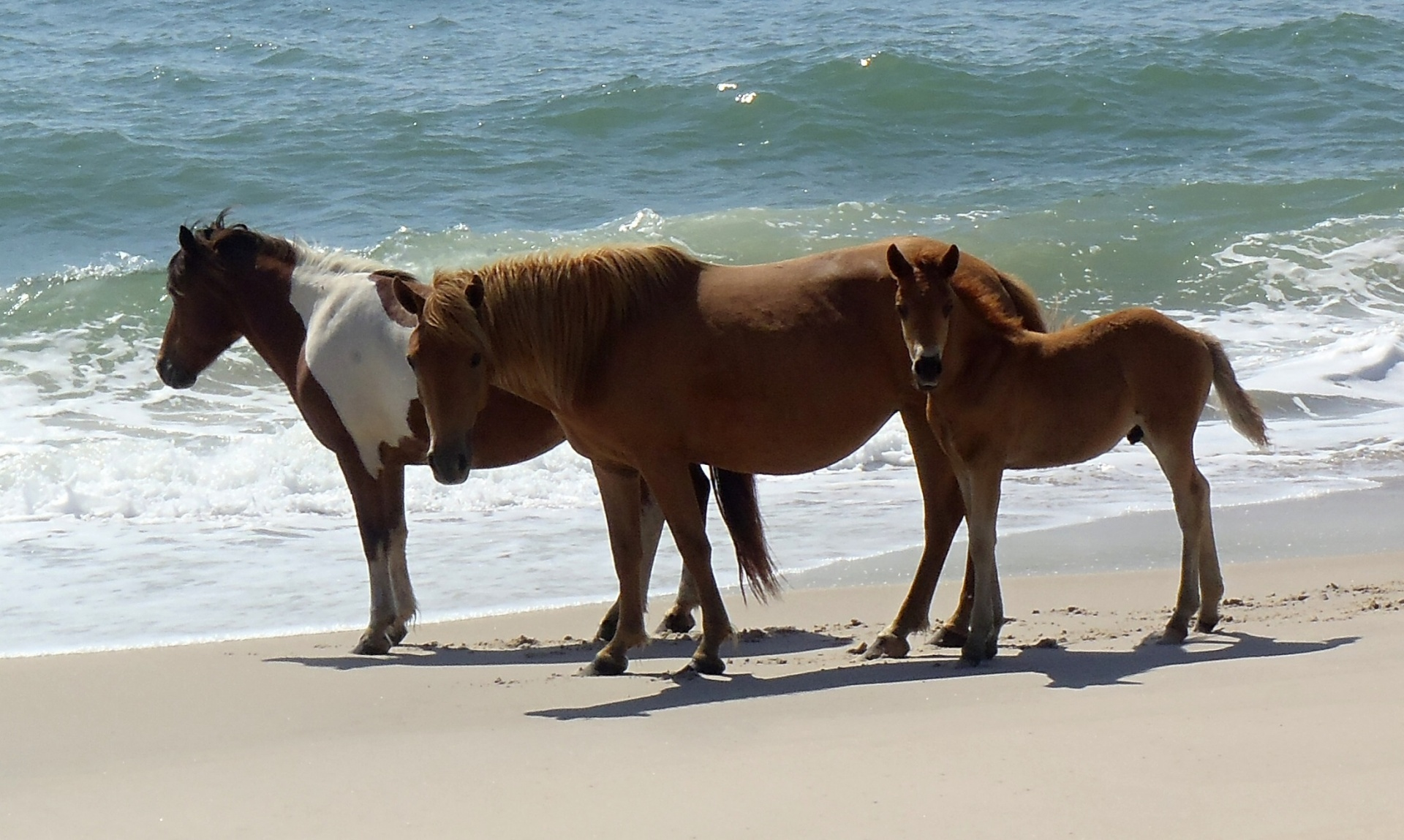 wild-assateague-island-ponies-1462543773zdq