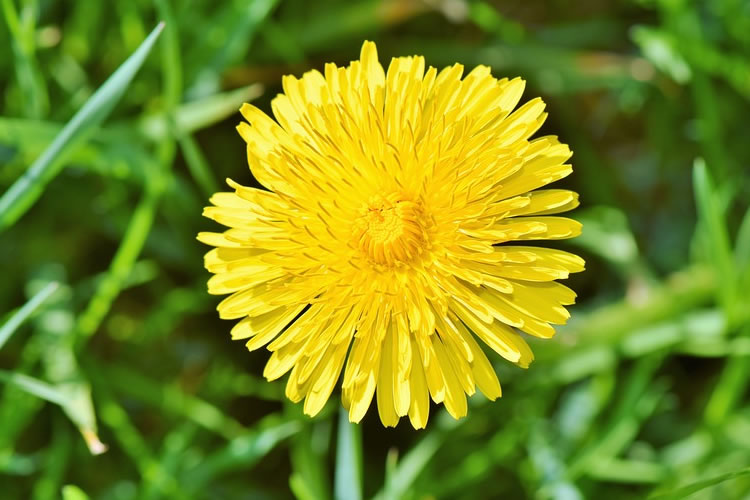 benefits dandelion root For Gut Health