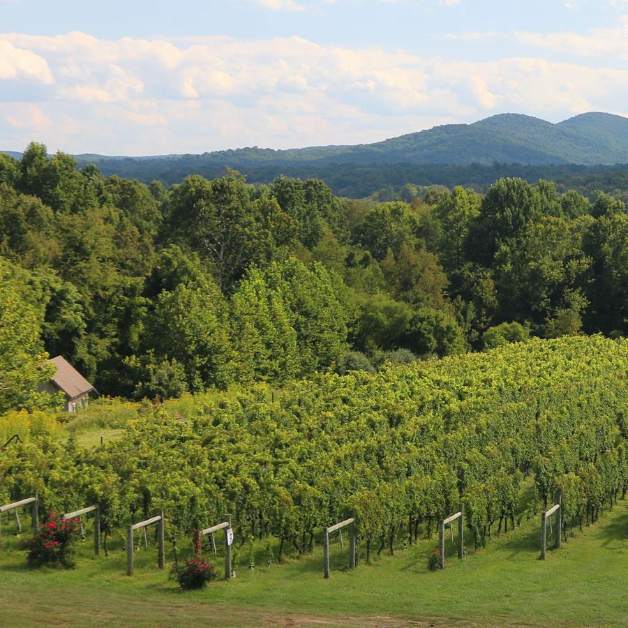 un vignoble luxuriant à flanc de montagne