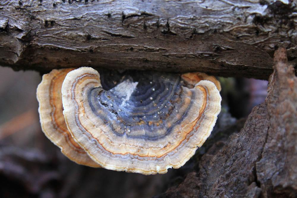 The Immune Boosting Health Benefits of Turkey Tail Mushroom